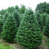 Natale: boom di furti nella campagna toscana, alberi di natale, pungitopo e agnellini nella lista dei ladri