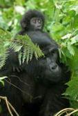 Meno di 1000 gorilla all'estinzione, l'Africa chiede aiuto!