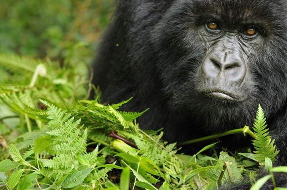 """Gorilla di montagna in via di estinzione: """"ne restano 880 esemplari"""""""