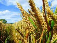 OGM, AIAB su sospensione autorizzazione colture