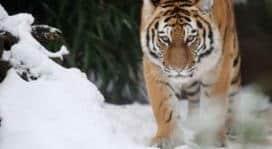 Tigri, le aree protette funzionano