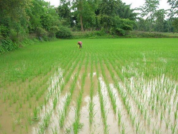 India: raccolto record di riso da agricoltura contadina e SRI