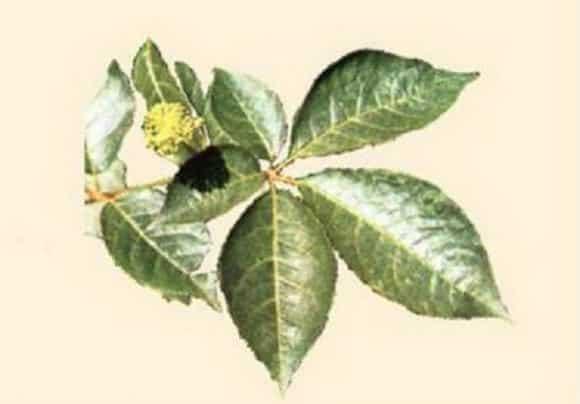 L'eleuterococco o ginseng siberiano, le sue proprietà e come si assume