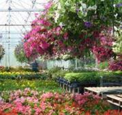 Il territorio ligure, la floricoltura diventi patrimonio dell'umanità