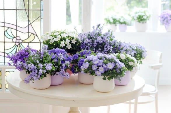 Con le piante dracaena e campanula portiamo la primavera in casa