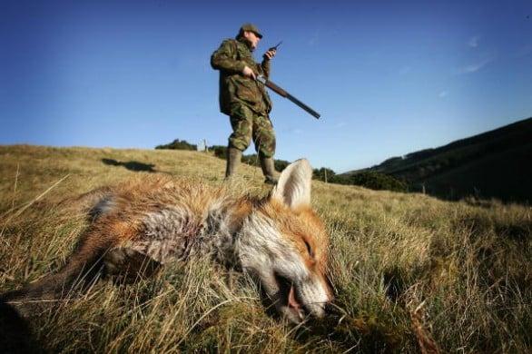 Caccia alla volpe: la Provincia di Siena autorizza le uccisioni in tana