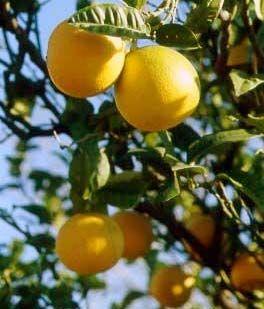 Il Bergamotto, proprietà cosmetiche e benefiche