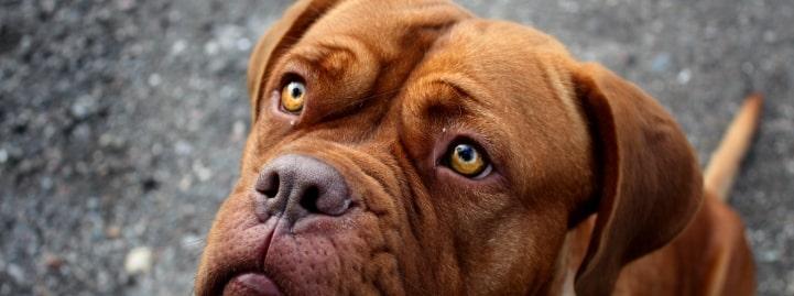 cane, dogue de bordeaux