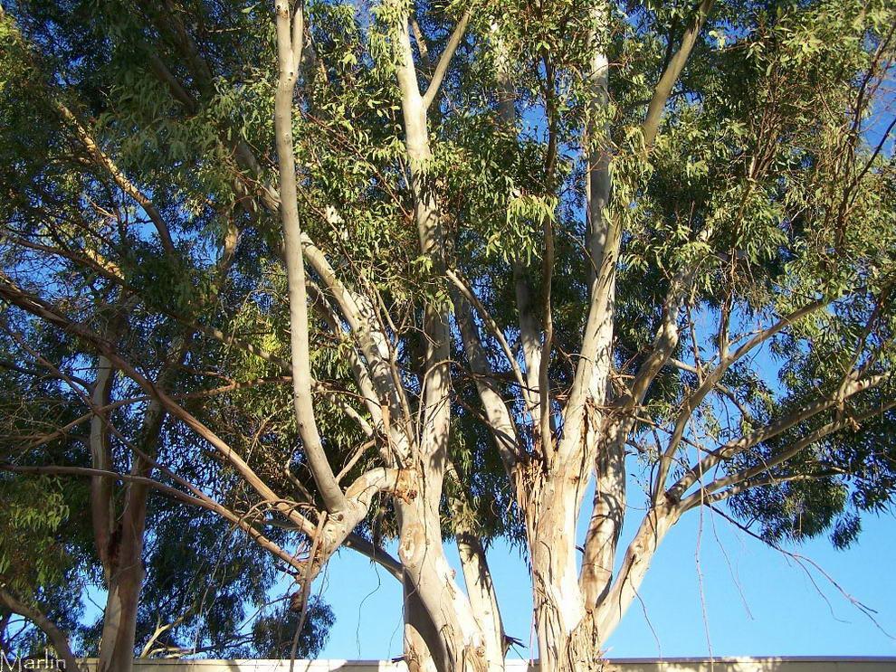 https://www.bionotizie.com/wp-content/uploads/2013/03/eucalyptus_globulus1.jpg