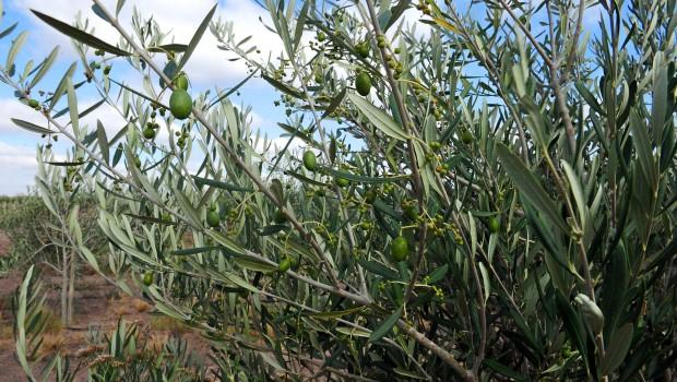 Olio d'oliva: la sazietà arriva con il profumo