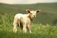 Agnelli, vitelli e formaggi: le ragioni del menu di Pasqua