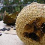Spugna di luffa…ecologica e non solo