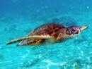 Rara tartaruga di acqua calda spiaggiata in Inghilterra