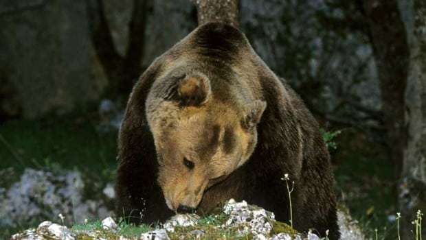 Orso avvelenato in Abruzzo, già sono 4 gli esemplari morti nel 2014