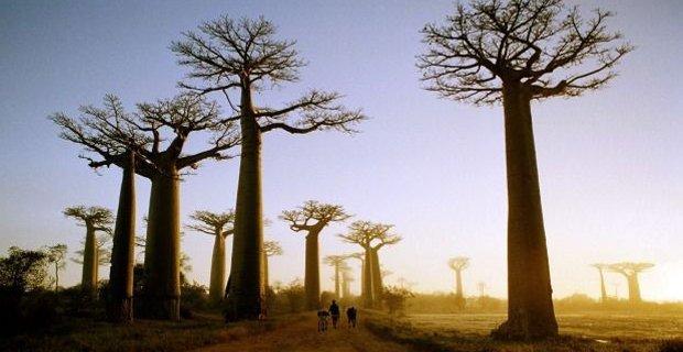 caption:Il baobab.