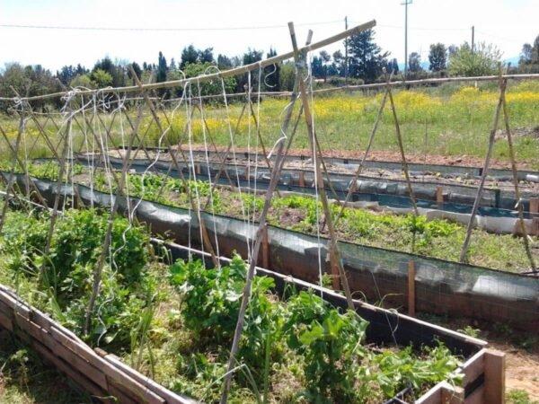 Canne bamboo per pomodori, come creare i sostegni - BioNotizie.com