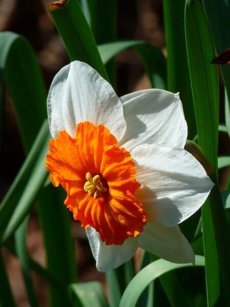 Bulbi di narciso: tutte le informazioni utili per coltivarli al meglio