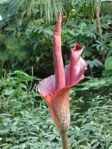 fiore del tubero da cui si estrae il glucomannano