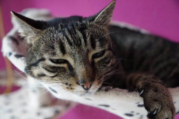 Anche i gatti si ammalano e vanno ko per l