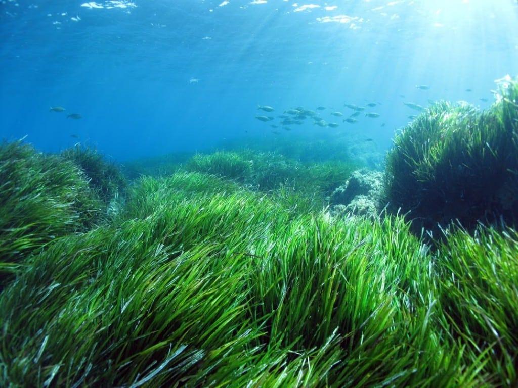 posidonia-oceanica