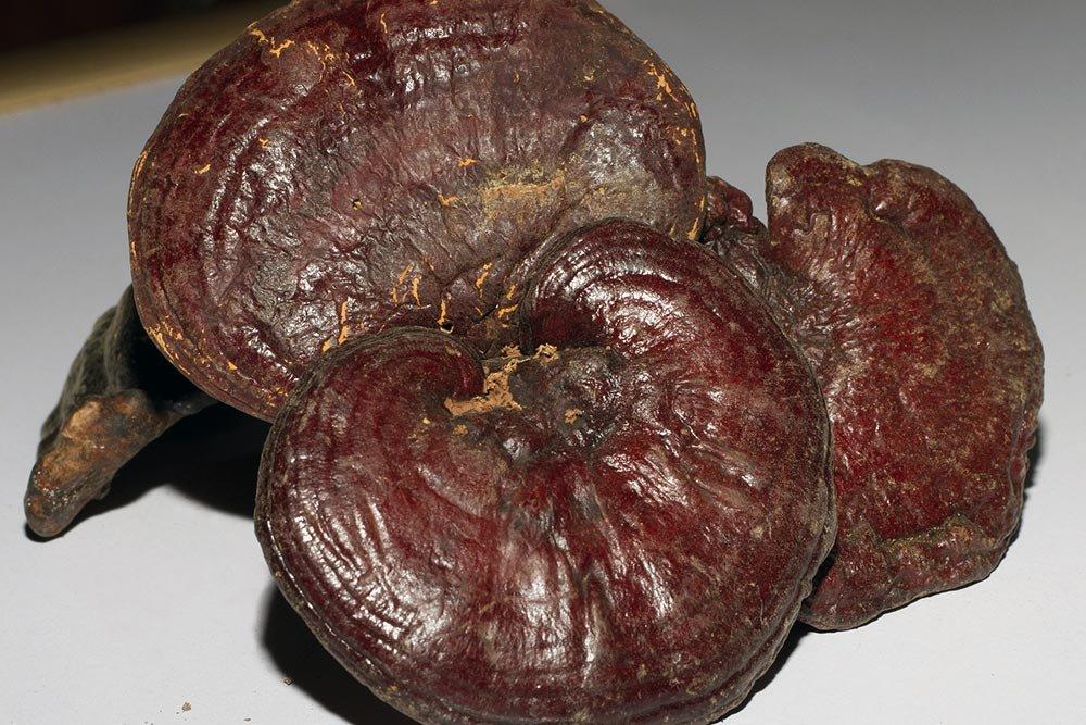 Funghi medicinali: dal Ganoderma Organo Gold allo Shiitake